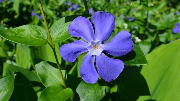 Periwinkle, Flower, Spring, Nature, Garden, The Petals