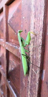 Prayer Mantis, Bug, Nature
