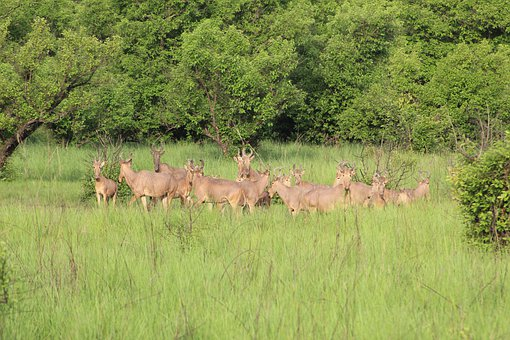 Water Buck, Ghana, Safari, Africa, Nature