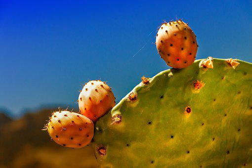 Cactus, Fig, Prickly Pear, Plant, Spur, Nature