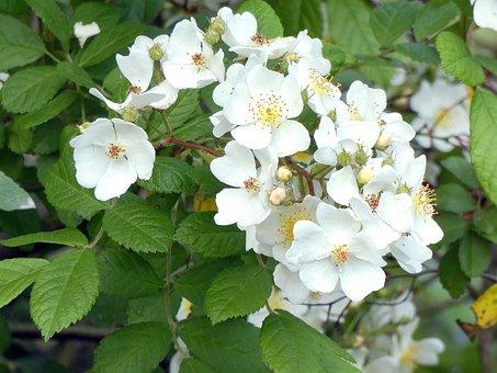 Patch Of Brambles, White Flowers, Blackberries, Fruit