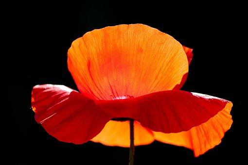 Poppy, Poppy Flower, Petals, Light On, Bright, Glow