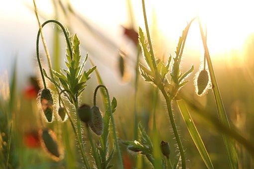 Poppy Buds, Evening, Golden Hour, Meadow, Field, Spring
