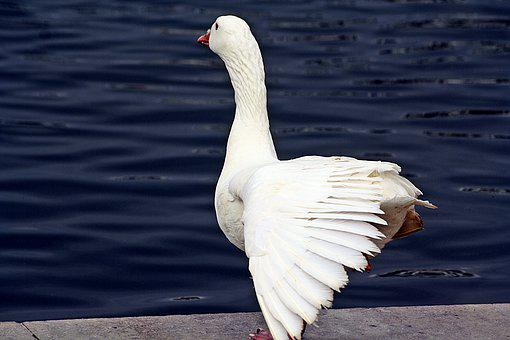 Goose, Bird, Plumage, Swimming Gear, White, Prancing In