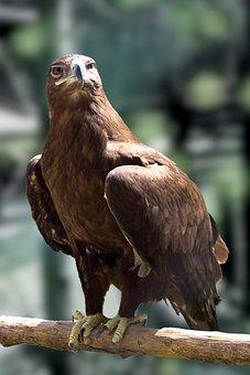 Sas, Predator, Bird, Nature, Pride