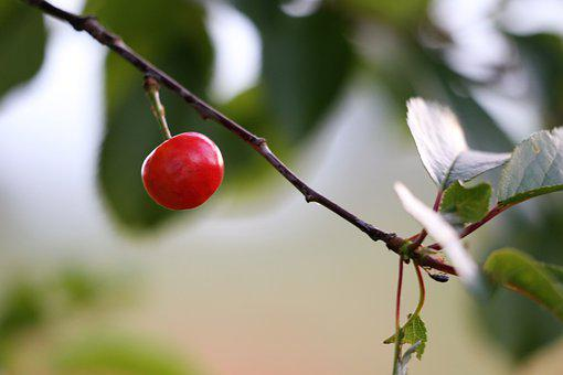 Red Cherry, Leaves, Branch, Natural, Organic, Outdoor