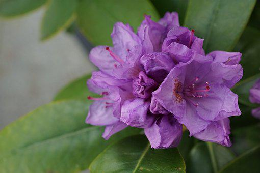 Rhododendron, Flower, Purple, Plant, Nature, Garden