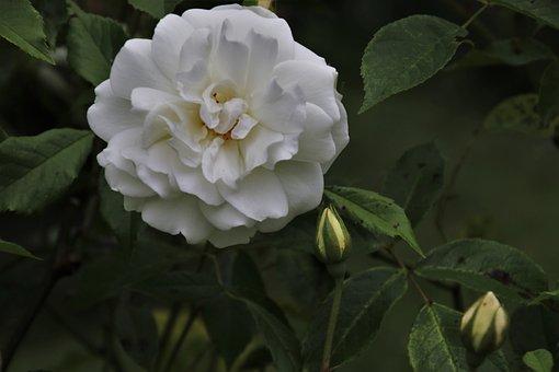 Rose, White Rose, White, Blossomed, Love, Floribunda