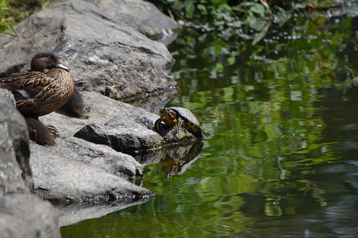 Mama Duck, Sunning On The Rocks, Turtle By The Pond
