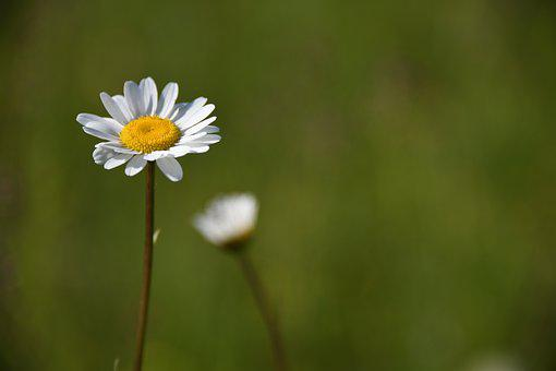 Daisy, Flower, White, Yellow, Meadow, Field, Wildflower