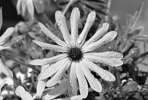 Flower, Yellow Flower, Black And White Photo, Petals
