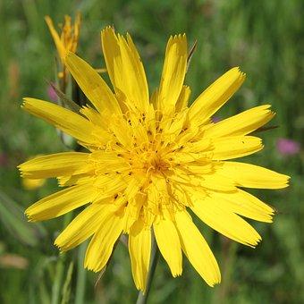 Had Salsify, Tragopogon, Yellow, Blossom, Bloom, Flora