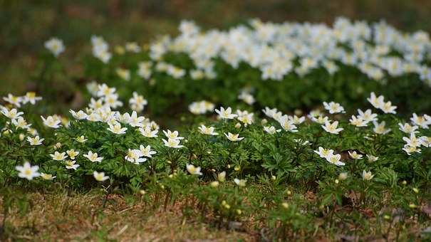 Anemones, Flowers, Wood Anemone, Spring, Many, Several