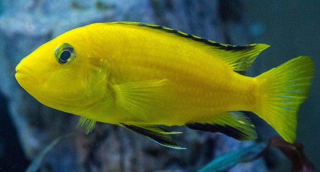 Aquarium, Cichlid, Mouthbrooders, Female