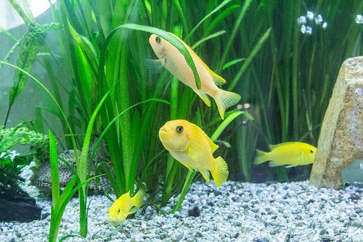 Aquarium, Colorful Gruff, Exotic, Fish