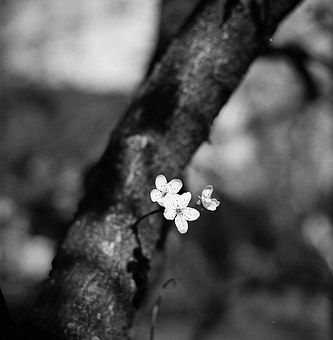 Plum Blossom, Black And White, Blurry Background, Light