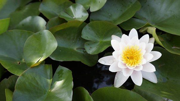 Lotus, Ban Bua, Water, Bo, Plant, Blade, White