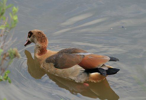 Egyptian Goose, Goose, Fowl, Browns, Buffs, Water, Pond
