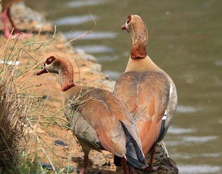 Egyptian Geese, Geese, Brown, Buff, Pond, Water
