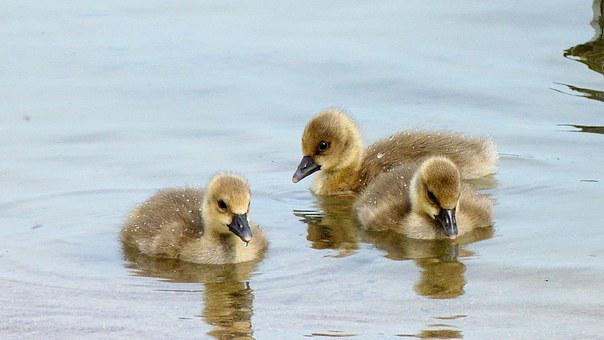 Chicks, Geese, Birds, Children's Group, Cute