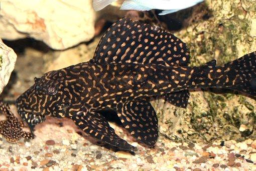 Glyptoperichthys Joselimaianus, L-catfish, Cichlid