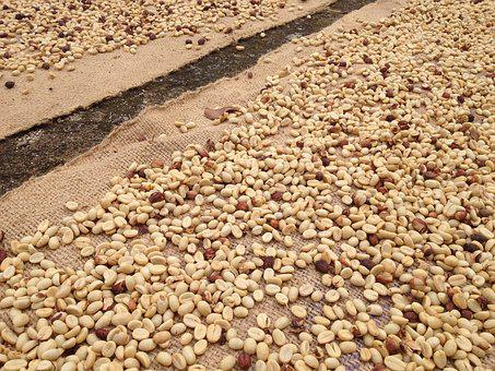 Raw Coffee, Coffee Beans, Drying Coffee, Coffee, Raw