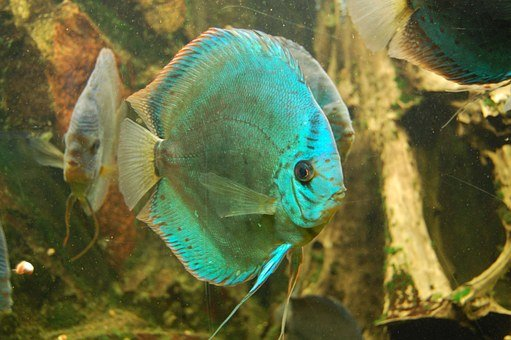 Discus Cichlid, Fish, Aquarium, Swim, Water