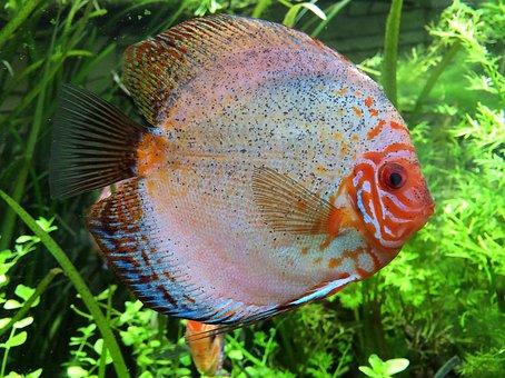 Discus Fish, Cichlid, Aquarium, Fish