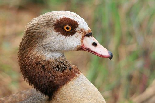 Egyptian Goose, Goose, Waterfowl, Head, Neck
