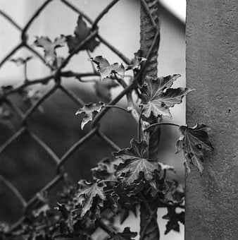 Ivy, Dragon Claw, Fence, Concrete, Black And White
