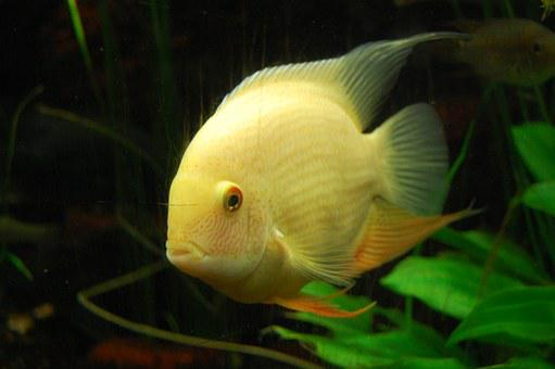 Cichlid, Fish, Aquarium, Underwater World, Underwater