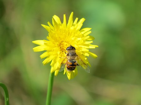 Hover Fly, Flower, Insect, Yellow, Mist Bee