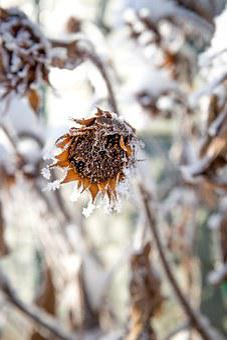 Frost, Winter, Snow, White, Flower, Cold, Dormant