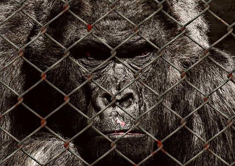 Animal Welfare, Gorilla, Imprisoned, Sad