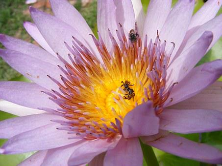 Lotus, Bua Ban, Water, Bo, Sa, Bee, Pretty, Violet