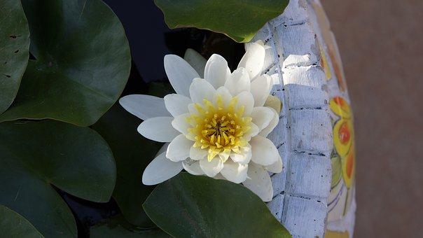 Bua Ban, Water, White, Lotus, Lotus Basin