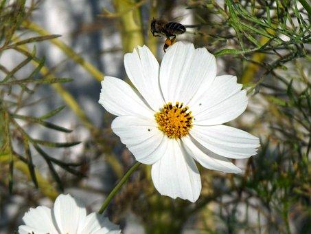 Bee, Flower, Cosmos, Cosmea, Babu, Flying Bee, Macro
