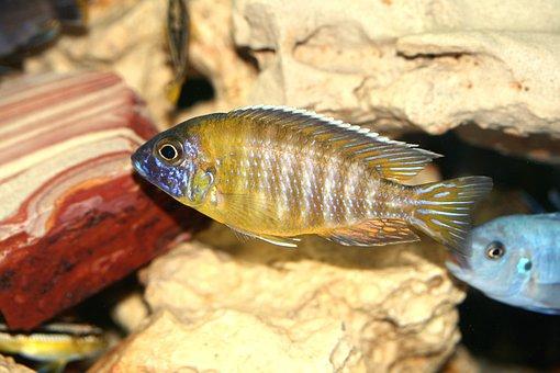 Aulonocara Baenschi, Cichlid, Malawi, Cichlidae