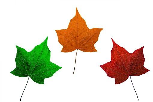 Leaves, Isolated, Maple, Maple Leaves, Red, Orange