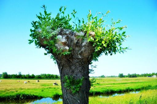 Willow, Pollard Willow, Tree, Pollarded, Scenic