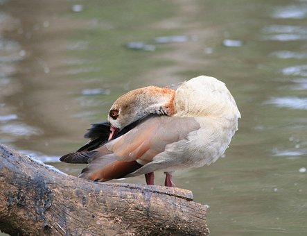 Egyptian Goose, Goose, Brown, Buff, Neck, Bent, Pond
