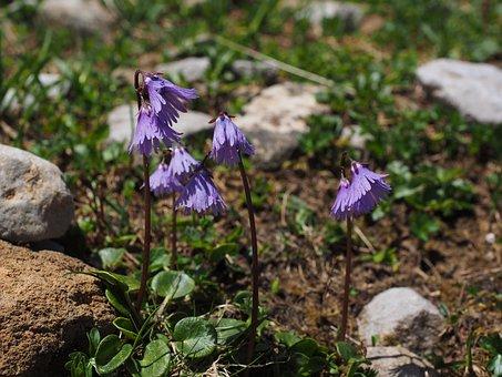 Alpine Soldanella, Flower, Purple, Violet, Flowers