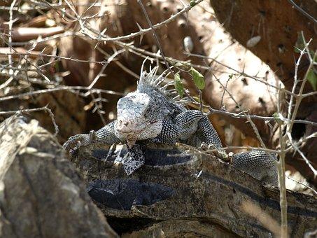 Iguana, Reptile, Dragon, Claw, Scale, Wilderness