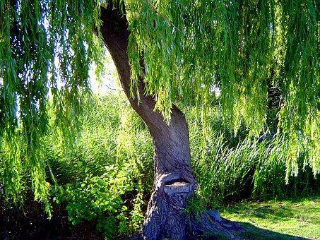 Tree, Steinhuder Sea, Holiday, Resort, Weeping Willow