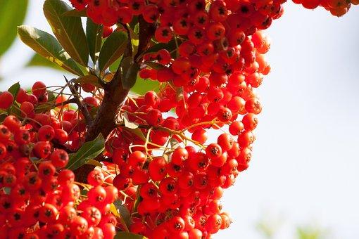 Sea Buckthorn, Berry, Fruit, Orange, Willow Arbor