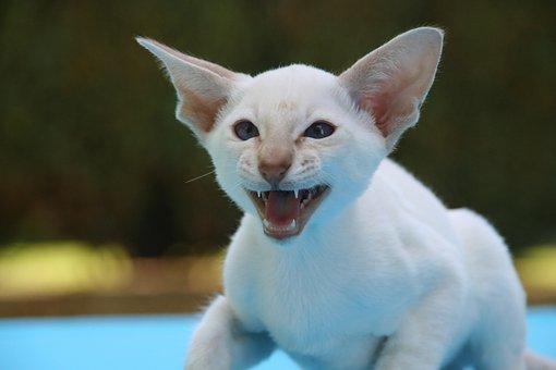 Siamese Cat, Hiss, Cat, Cat Baby, Scream, Grim, Bite