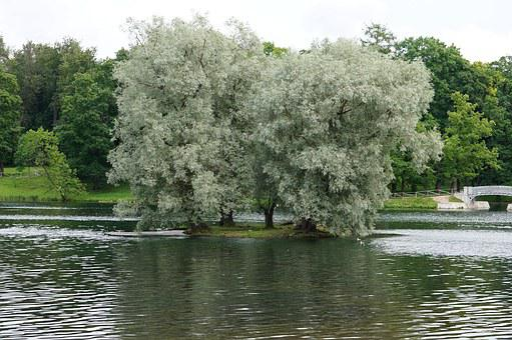 Landscape, Silver Willow, Lake, Gatchina