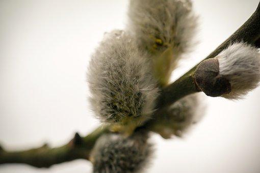 Kitten, Willow Catkin, Pasture, Fluff, Spring, Bud