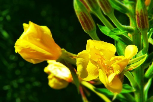 Lilies, Unknown, Who Knows Her, Flower Meadow, Yellow
