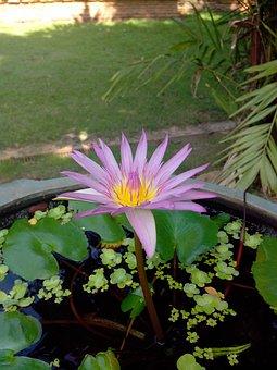 Violet, Bua Ban, Water, Bua Toom, Lotus, Flowers